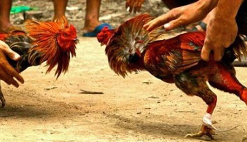 17 Warga Jambi Ditangkap Polisi Saat Main Judi Sabung Ayam